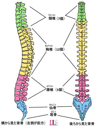 背骨の構造とカーブについてダンサーが知っておきたい事| Dancer's Life Support.com